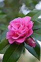 Camellia x williamsii 'Debbie' (japonica x saluenensis), mid March.