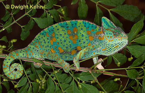 CH39-519z  Female Veiled Chameleon in display colors, Chamaeleo calyptratus