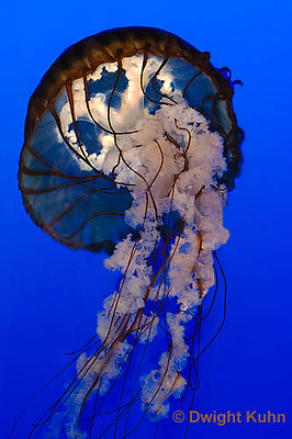 EC11-504z  Sea Nettle Jellyfish swimming in ocean, Chrysaora spp.