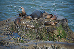 La Jolla Cove, San Diego, California; a large, bull, male California Sea Lion (Zalophus californianus) and seven females and/or juveniles haul out on the rocky shoreline to warm themselves in the sunshine