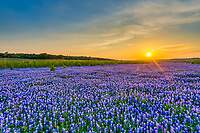 This was another one of the bluebonnet sunset from Muleshoe Park from the first year of bluebonnets which is located outside of Austin in the Hill Country.  This whole field was endlless bluebonnets, broken up only by the salt cedar growing along it edge.  It was extremely fragrant too, but by the next year this field did not come back there were still plenty of bluebonnets, but not like the first year where the bluebonnets seem to go off into the sunset.   Now of course this whole area is under water so it may be years before we see bluebonnets there again if ever.  Hanging on to our memories of the perfect bluebonnet fields.