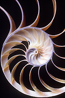 CHAMBERED NAUTILUS SHELL<br /> Cross section<br /> A prime example of the Golden Mean logarithmic spiral found in nature, and based on the Fibonacci Series of numbers, the progression in which 2 initial terms are added to form the third.