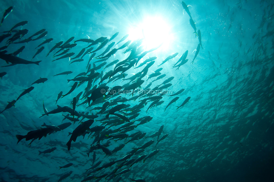 School of fish silhouetted by the sun