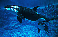 Photo MF-9. Orca Whales (Orcinus orca), mother and calf, aquarium shot..Photo Copyright © Brandon Cole. All rights reserved worldwide.  www.brandoncole.com.This photo is NOT free. It is NOT in the public domain..Rights to reproduction of photograph granted only upon payment in full of agreed upon licensing fee. Any use of this photo prior to such payment is an infringement of copyright and punishable by fines up to  $150,000 USD...Brandon Cole.MARINE PHOTOGRAPHY.http://www.brandoncole.com.email: brandoncole@msn.com.4917 N. Boeing Rd..Spokane Valley, WA  99206  USA.tel: 509-535-3489.