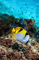 December 1st, 2008_MALDIVES_ A Double-saddle Butterflyfish (Chaetodon falcula), at a dive site known as Kuda Giri in the Maldives.  The Maldives, which is the world's lowest nation in altitude is rich with marine life and great diving.  Photographer: Daniel J. Groshong/Tayo Photo Group
