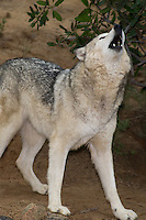 694920022 a captive female gray wolf lair canis lupus at the wildlife waystation wildlife recovery and care facility in southern california