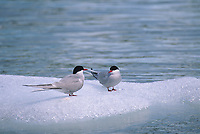 Arctic terns on iceberg, Meares Inlet, Prince William Sound, Alaska.