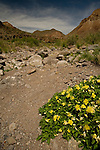 Yellow flowers blooming along the Rancherios Trail in the Big Bend Ranch State Park in Texas
