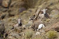 Bighorn Ram with Ewes