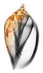 Blended x-ray image of a brown-lined volute shell (Harpulina lapponica, on white) by Jim Wehtje, specialist in x-ray art and design images.