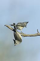 Black-crested Titmouse (Baeolophus atricristatus), pair on branch, Starr County, Rio Grande Valley, Texas, USA