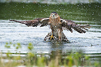 Cooper's Hawk emerging from water after killing a coot
