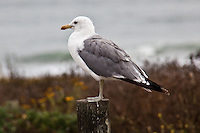 A California gull at Pescadero State Beach, California