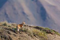 Red fox overlooks the tundra of Denali National park, interior, Alaska.