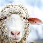 20160416 Andrea Sheep