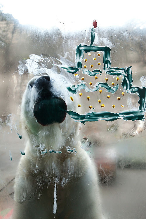 Conrad the poalr bear licks a cream cheese cake off his enclosure window at his 25th birthday party at the Oregon Zoo. © Oregon Zoo / Photo by Carli Davidson