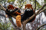 Red or lesser pandas in eastern forests, Himalaya, Nepal