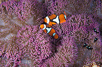 """mn164. Clown Anemonefish (Amphiprion percula). 2 """"clownfish"""" and lots of domino damsels live in this anemone, a symbiotic relationship. Papua New Guinea, tropical Indo-Pacific Ocean..Photo Copyright © Brandon Cole. All rights reserved worldwide.  www.brandoncole.com..This photo is NOT free. It is NOT in the public domain. This photo is a Copyrighted Work, registered with the US Copyright Office. .Rights to reproduction of photograph granted only upon payment in full of agreed upon licensing fee. Any use of this photo prior to such payment is an infringement of copyright and punishable by fines up to  $150,000 USD...Brandon Cole.MARINE PHOTOGRAPHY.http://www.brandoncole.com.email: brandoncole@msn.com.4917 N. Boeing Rd..Spokane Valley, WA  99206  USA.tel: 509-535-3489"""