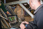 John Hutchinson, professor of evolutionary biomechanics at the Royal Veterinary College studying a white rhino (Ceratotherium simum) for a special research project on rhino feet at Colchester Zoo, May 2012, UK