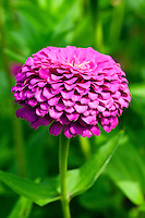 Zinnia flower in bloom.