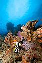 Longfin bannerfish (Heniochus acuminatus) on healthy reef system.  Namena Island, Fiji.