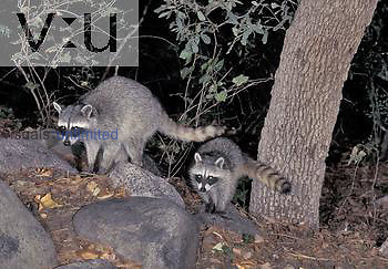 Raccoon (Procyon lotor) showing eyeshine due to the tapetum lucidum in its eye. North America.