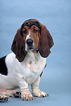 Bassett Hound<br /> <br /> <br /> <br /> <br /> <br /> Shopping cart has 3 Tabs:<br /> <br /> 1) Rights-Managed downloads for Commercial Use<br /> <br /> 2) Print sizes from wallet to 20x30<br /> <br /> 3) Merchandise items like T-shirts and refrigerator magnets<br /> <br /> <br /> <br /> <br /> <br /> Shopping cart has 3 Tabs:<br /> <br /> 1) Rights-Managed downloads for Commercial Use<br /> <br /> 2) Print sizes from wallet to 20x30<br /> <br /> 3) Merchandise items like T-shirts and refrigerator magnets