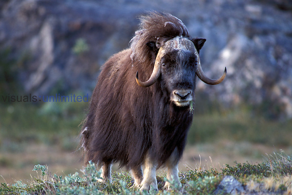 Bull Muskox ,Ovibos moschatus,.