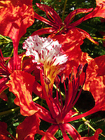 Flamboyant Blossom
