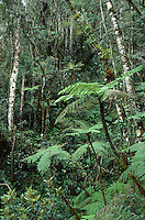 Tree ferns in cloud forest (tropical montane forest) on slopes of Mount Kinabalu, Kinabalu National Park, Malaysia, Borneo, Sabah.