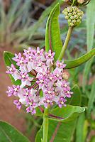 Prairie Milkweed Asclepias sullivantii