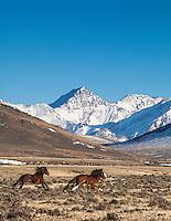 Running Idaho Mustangs, snow capped peaks.