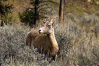 A female Big Horn Sheep (Ovis canadensis) walking along a small trail in Yellowstone National Park