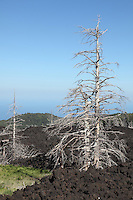 Dead trees embedded in 2002 A'a lava flows, North flank, Mount Etna Volcano, Sicily, Italy.
