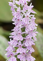 The Heath Spotted Orchid or Moorland Spotted Orchid Dactylorhiza maculata, Hardy Orchid, British native wildflower