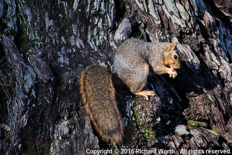 An Eastern fox squirrel eating a peanut tossed by another visitor to a city park in San Leandro, California.