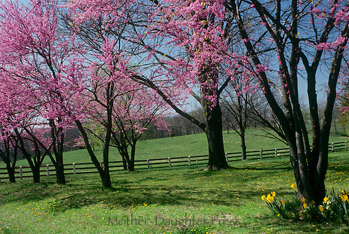 Redbud trees blooming along country road and fence line separating horse field