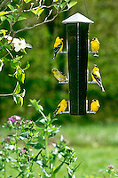 American Goldfinch, Spinus tristis, at 6 seater-feeder creating an array of expressions and action