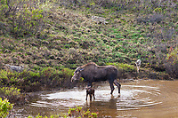 Cow moose defends her newly born calf from the Grant Creek wolf pack in Denali National Park, Alaska.
