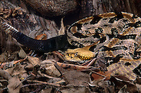 466844003 a captive canebrake rattlesnake crotalus horridus atricaudates lays coiled in leaf litter - species is native to the southeastern united states