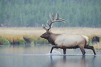 Elk, Wapiti (Cervus elaphus), bull crossing river in snowstorm,  Yellowstone NP,Wyoming, USA