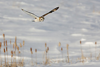 Short-eared Owl (Asio flammeus) flying while hunting for food