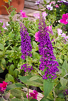 Buddleja Buzz Magenta Buddleia butterfly bush, dwarf short growing flowering shrub