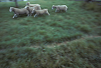 Sheep, ewe, grazing split log fence. Landis Valley farm museum Lancaster PA Pennsylvania  historical collection late 1800's early 1900's equipment & antiques