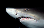 Sand tiger shark Carcharias taurus - captive, jagged teeth ocean fearsome jaws ocean sea oceanic  ....
