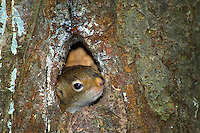Algonquin Park, Ontario, Canada, July 2006. a squirel makes its home right above our table. Some campsites represent little paradises where one can enjoy the bonfire after a hard day of paddling. The Algonquin Provincial Park consists of many lakes that can be explored by canoe and which are connected by portages. Photo by Frits Meyst/Adventure4ever.com