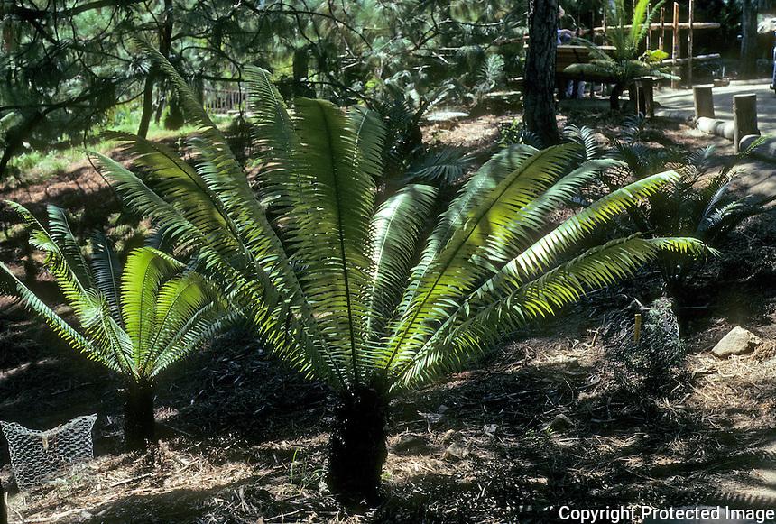 Pre-historic Animals: Dinosaur food--cycads. Since Meszoic (181 million--63 million years ago.)
