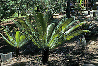 Pre-historic Animals: Dinosaur food--cycads. Since Meszoic (181 million--63 million years ago.)