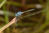 Dropwing Dragonfly male (Trithemis stictica), South Africa.