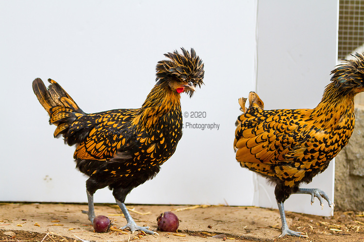 An urban chicken coop in Portland, Oregon with a group of egg-laying hens